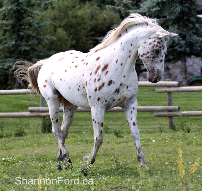 Appaloosa at Liberty Artists Model for Shannon Ford